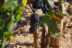 Ripe Pinot Noir