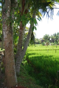 palm lined rice paddy