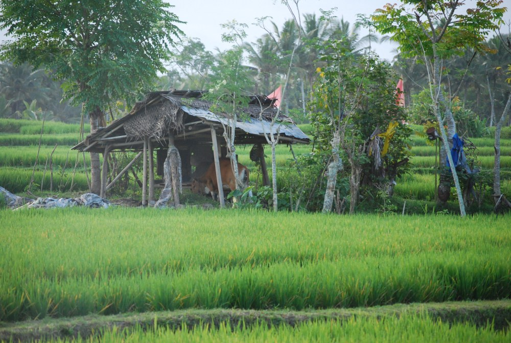 hut in rice paddy