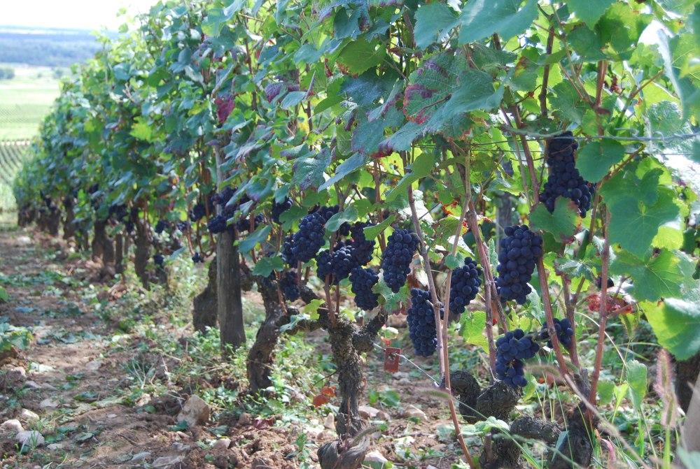 Pinot Noir in Morey St Denis 1er Cru Les Chaffots