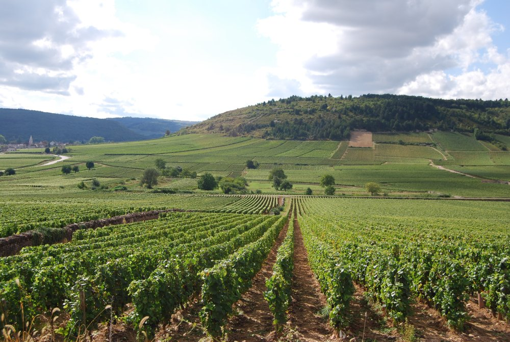 perfect green vines in Burgundy