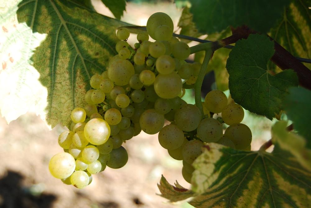 shot Chardonnay grapes