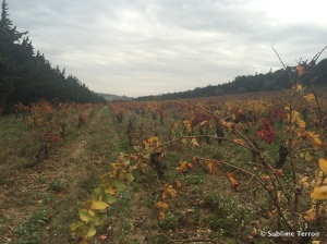 Grenache vines with last remaining leaves...